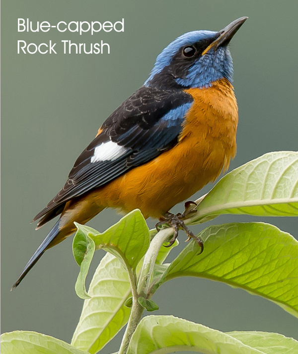 Blue-capped Rock Thrush, photography by Manjula Mathur