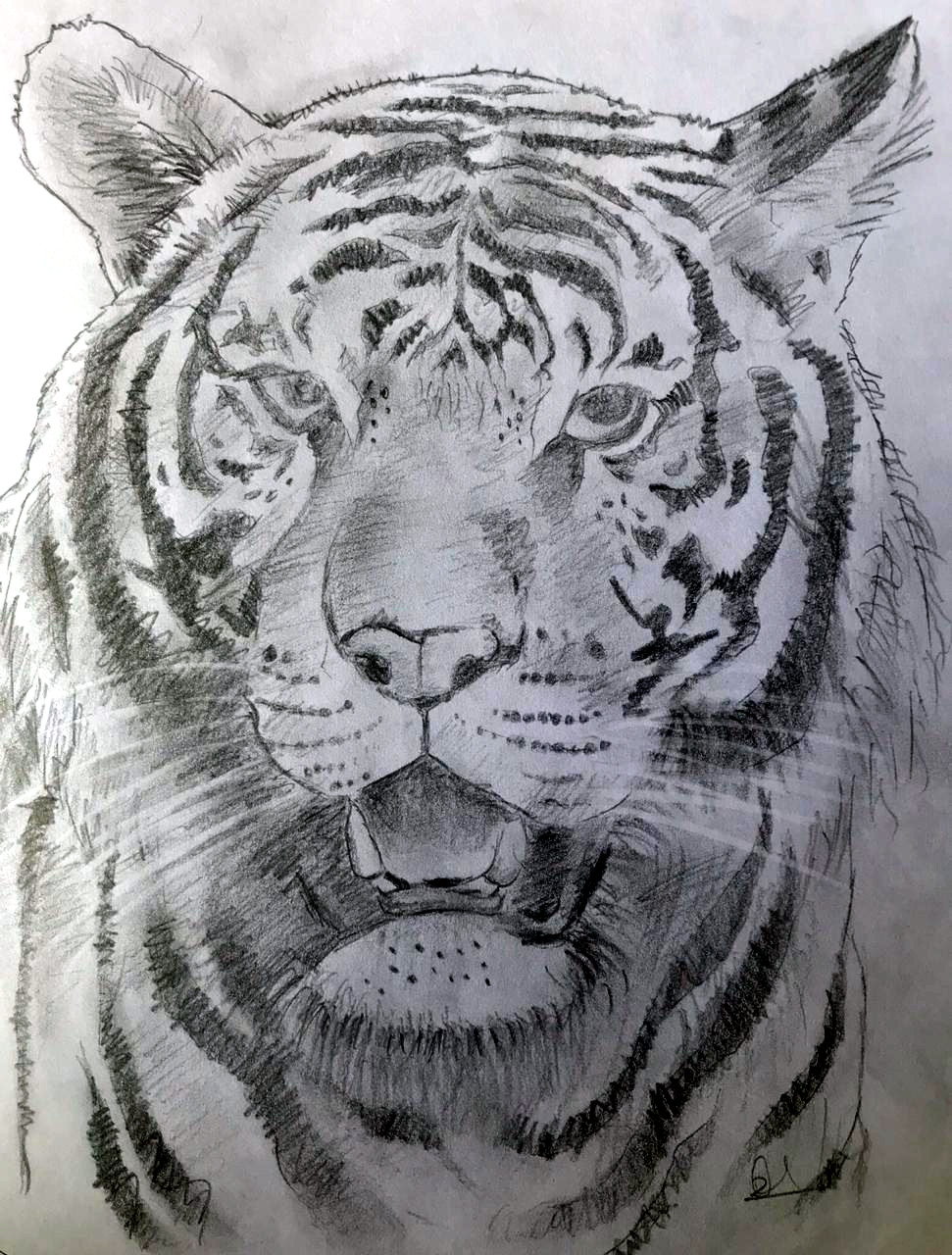 A proud tiger (Pencil sketch by Rucha Rathod.)