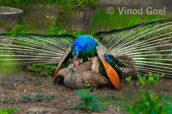 Peafowls mating at Sunder Nursery, New Delhi in 2016. Photo credit: Vinod Goel. Copyright: Vinod Goel