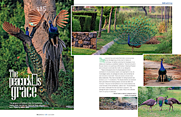 An article in the Rail Bandhu magazine, July 2014 edition featuring photographs of peacocks. Photo credit: Vinod Goel. Copyright: Vinod Goel