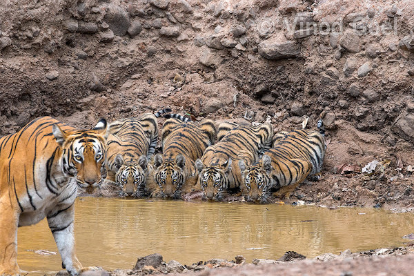 A family of five tigers at the waterhole at Tadoba Andhari Tiger Reserve. Photo credit: Vinod Goel. Copyright: Vinod Goel