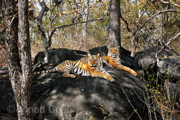 Tigers resting on a boulder. Photo credit: Vinod Goel. Copyright: Vinod Goel