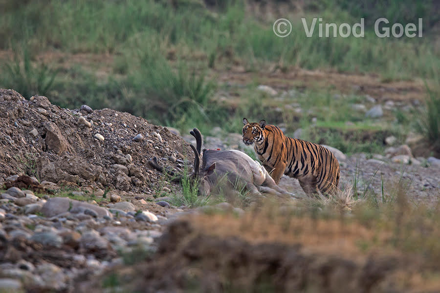 Tigress with the kill. Photo credit: Vinod Goel. Copyright: Vinod Goel