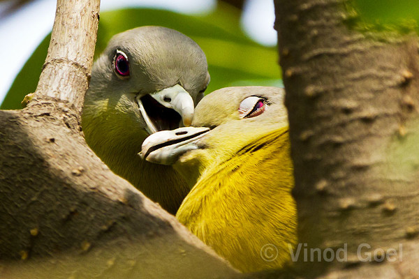 Yellow-footed green pigeons. Photo credit: Vinod Goel. Copyright: Vinod Goel